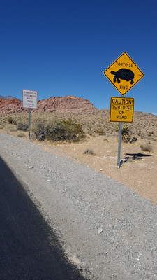 Tortoise crossing at Red Rock Canyon
