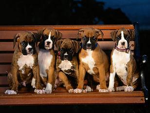 Royal Boxers Boxer Puppies For Sale Massachusetts Boxer Breeders Mas