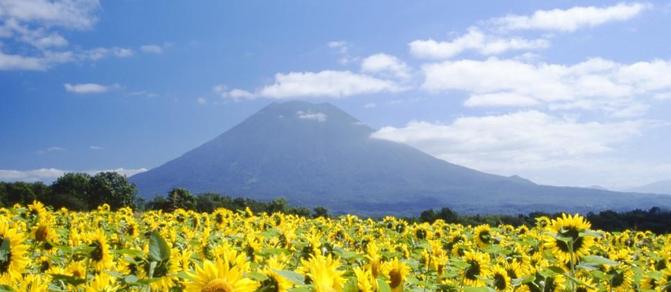 Mt Yotei & Sun flower field