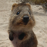 世界一幸せな動物と言われるクォッカ