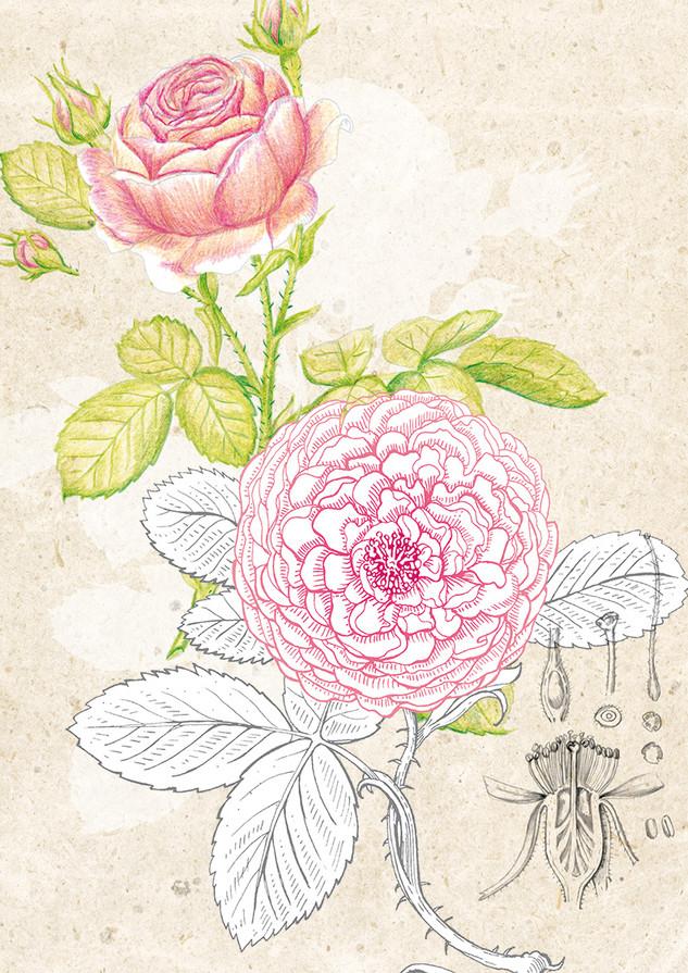 Durance, recherches pour la gamme Ancian Rosa.