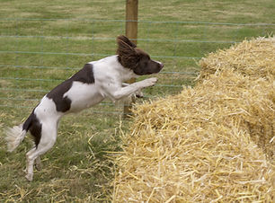 A spaniel jumping over haybales during a