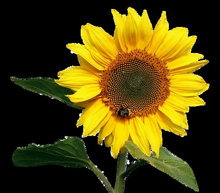 purepng.com-sunflower-transparentflower-