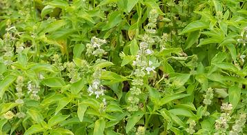 Basilic tropical - Aromathérapie - Danse