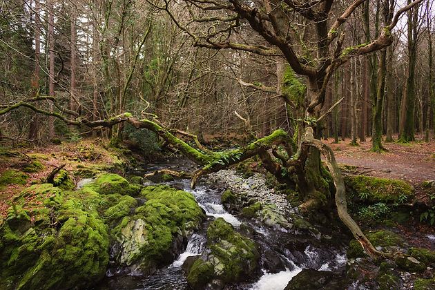 Gnarly tree over a forest stream