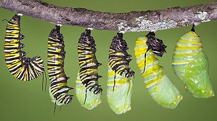 invertebrate_monarch-caterpillar-transfo