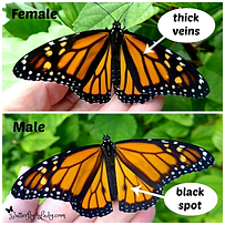 monarchMaleFemale.png