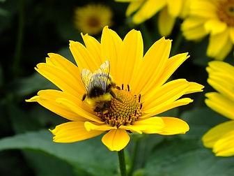 Bee_Cone_Flower.jpg