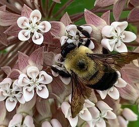 Bee_On_Milkweed_edited.jpg