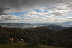 cows hills