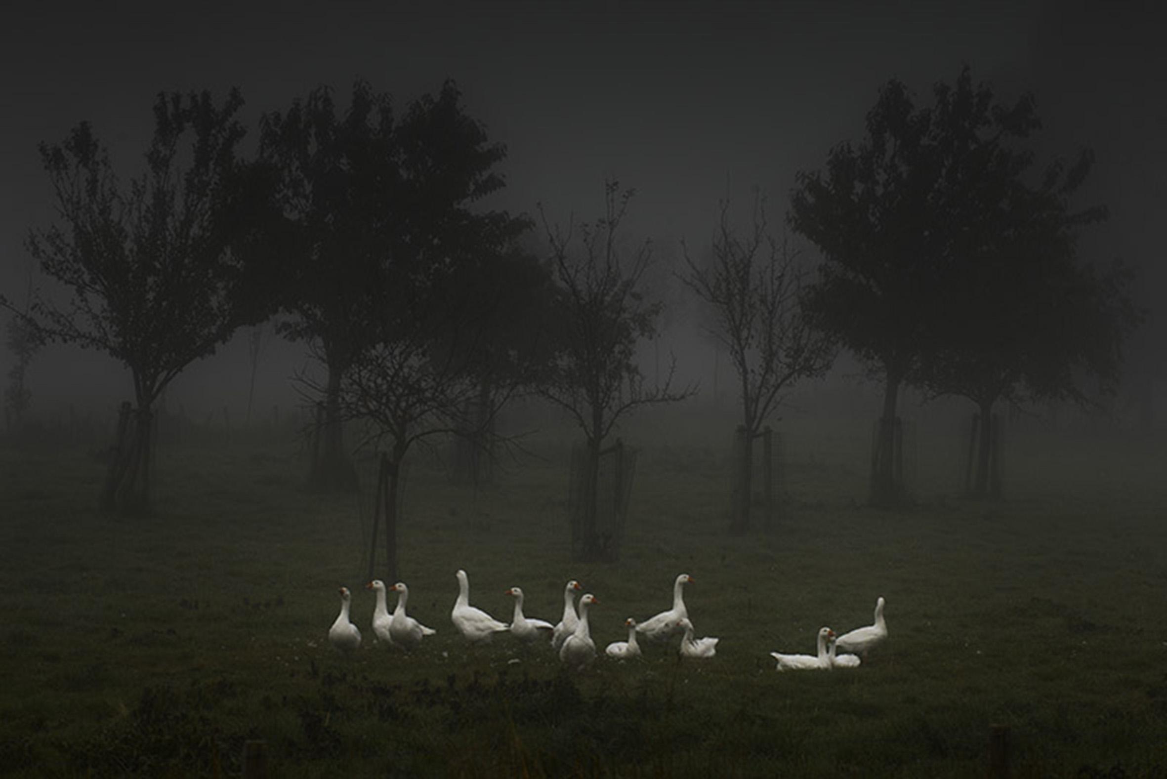 geese fog