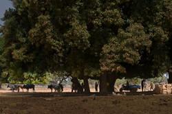 cows treeB