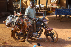 chicken transport