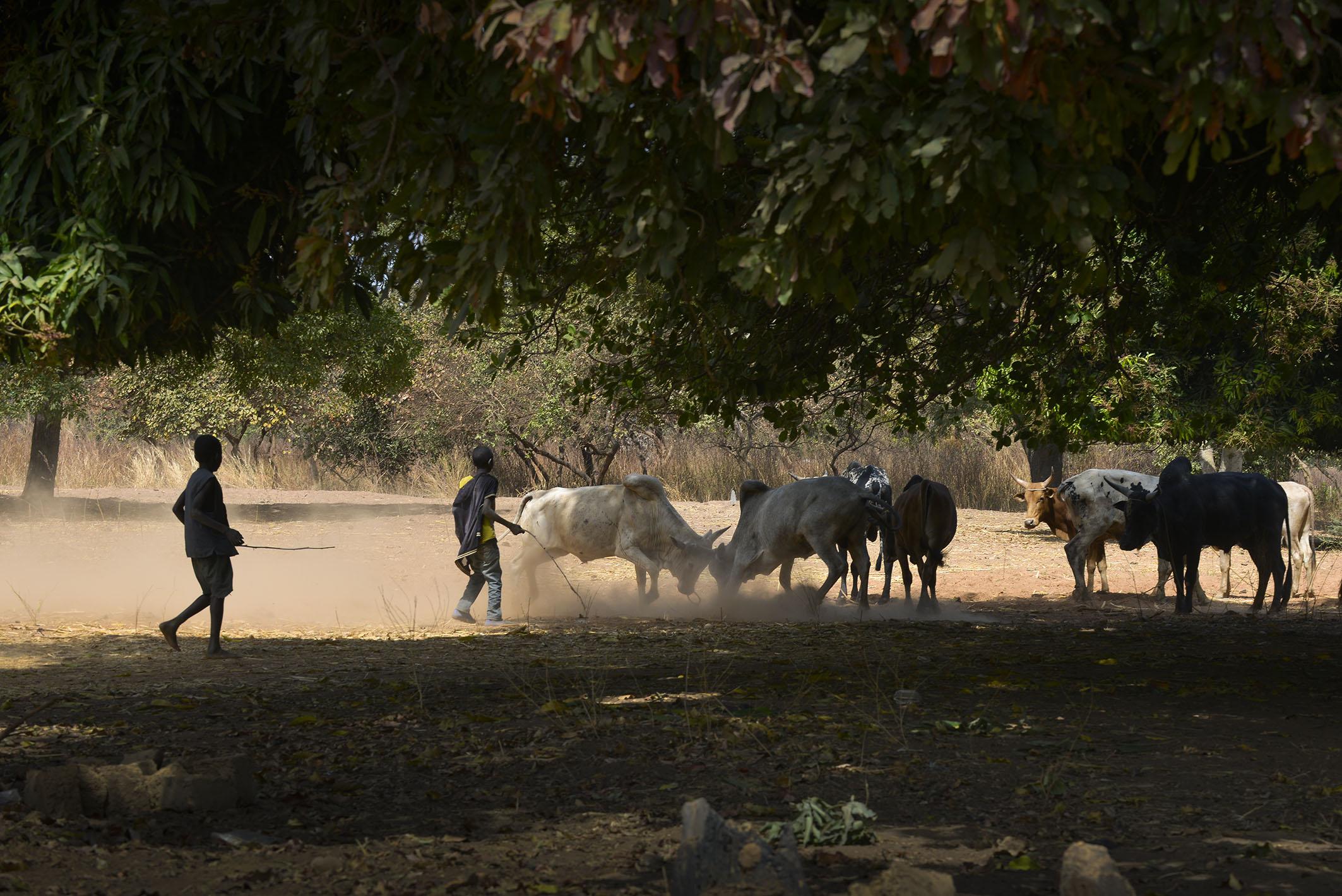 cows tree