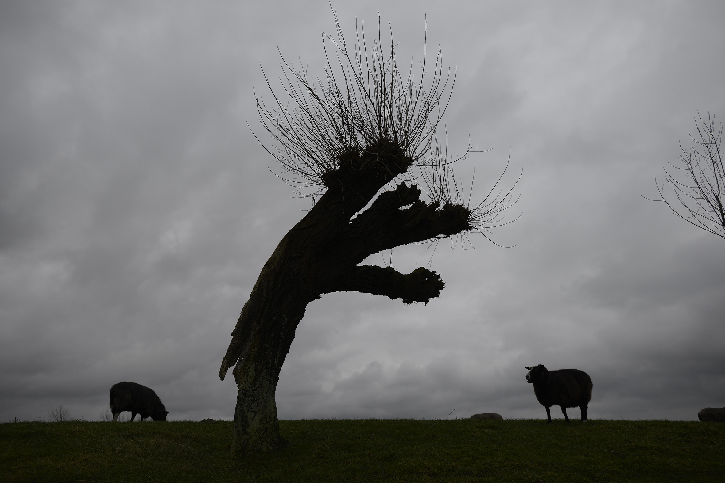 sheep willow