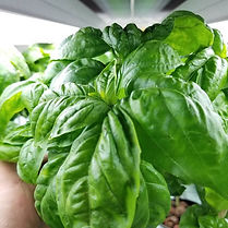 Our hydroponic basil is looking healthy