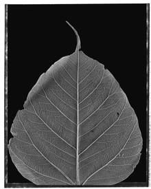 Lucky Leaf.jpg