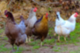 Winfred Atwell  Celia Johnson  Peggy Lee  Dame Sybil Thorndike Our Hens