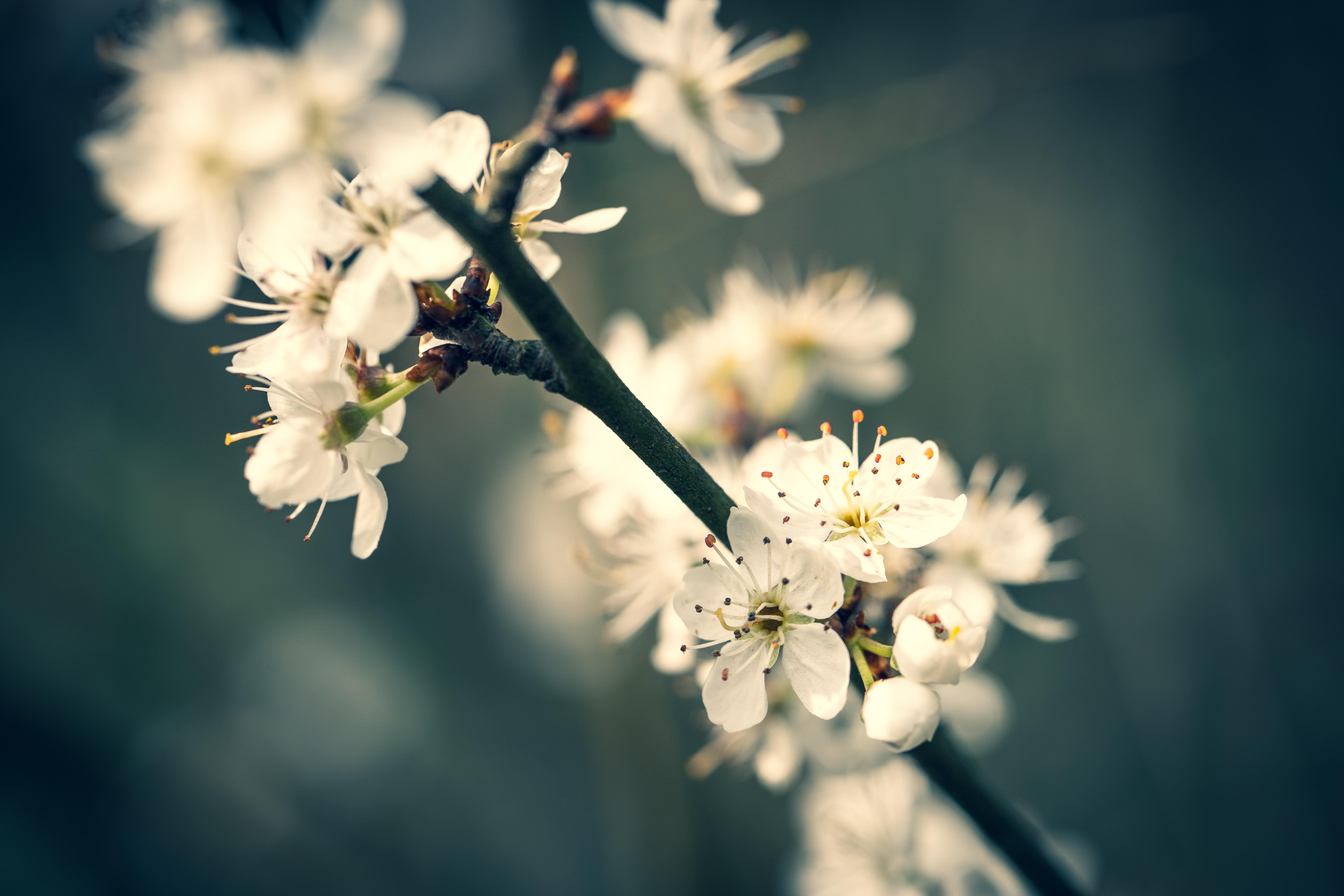 Cerisiers.
