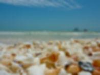 Whelk-in-a-pile-of-shells-on-Sanibel.jpg