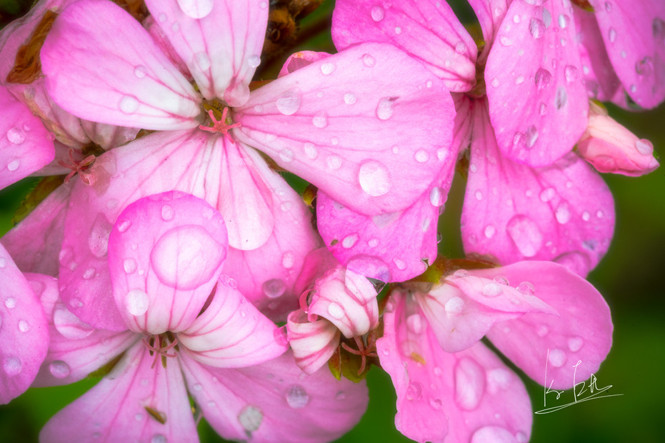 This is a flower at my home in Oita. Japan is in rainy season in June and I shot this after the rain.  I shot with Macro lens  大分の自宅の花の写真です。 梅雨の時期、雨上がりに撮影をしました。 マクロレンズを使って撮影をしています。   Lens: Canon EF 100mm f/2.8L Macro IS USM