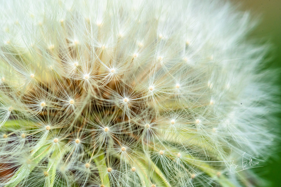Dandelion Macro!  たんぽぽをマクロレンズで撮影しました。   Lens: Canon EF 100mm f/2.8L Macro IS USM