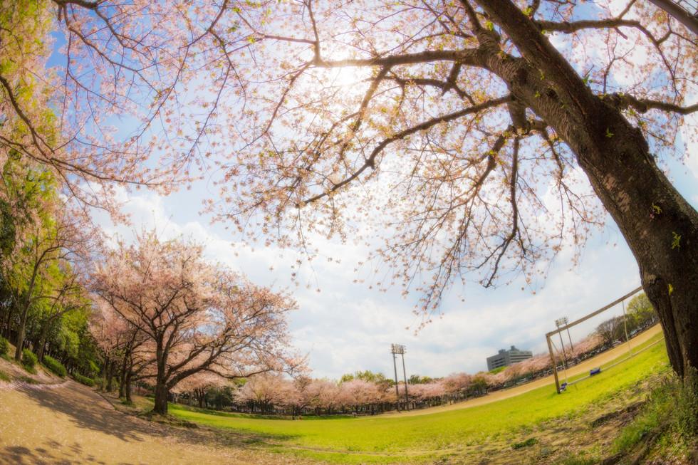 Sakura in Minami Oita Sports Park, Oita city, Oita/大分県大分市・南大分スポーツパークの桜