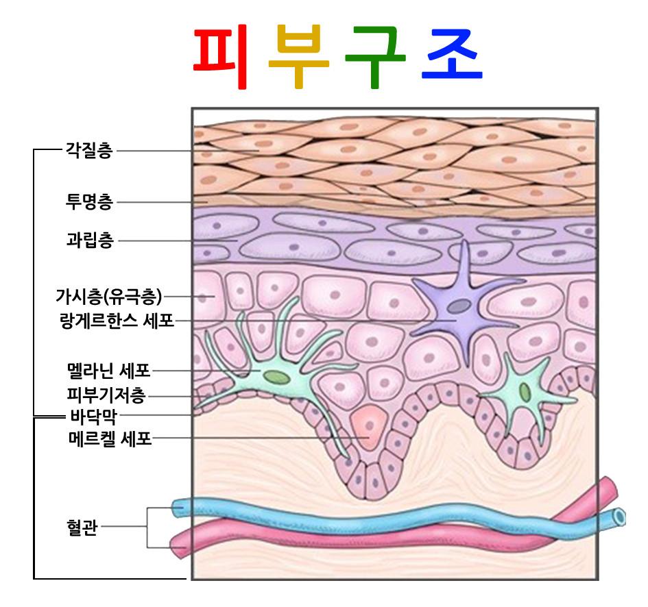 피부의 구조