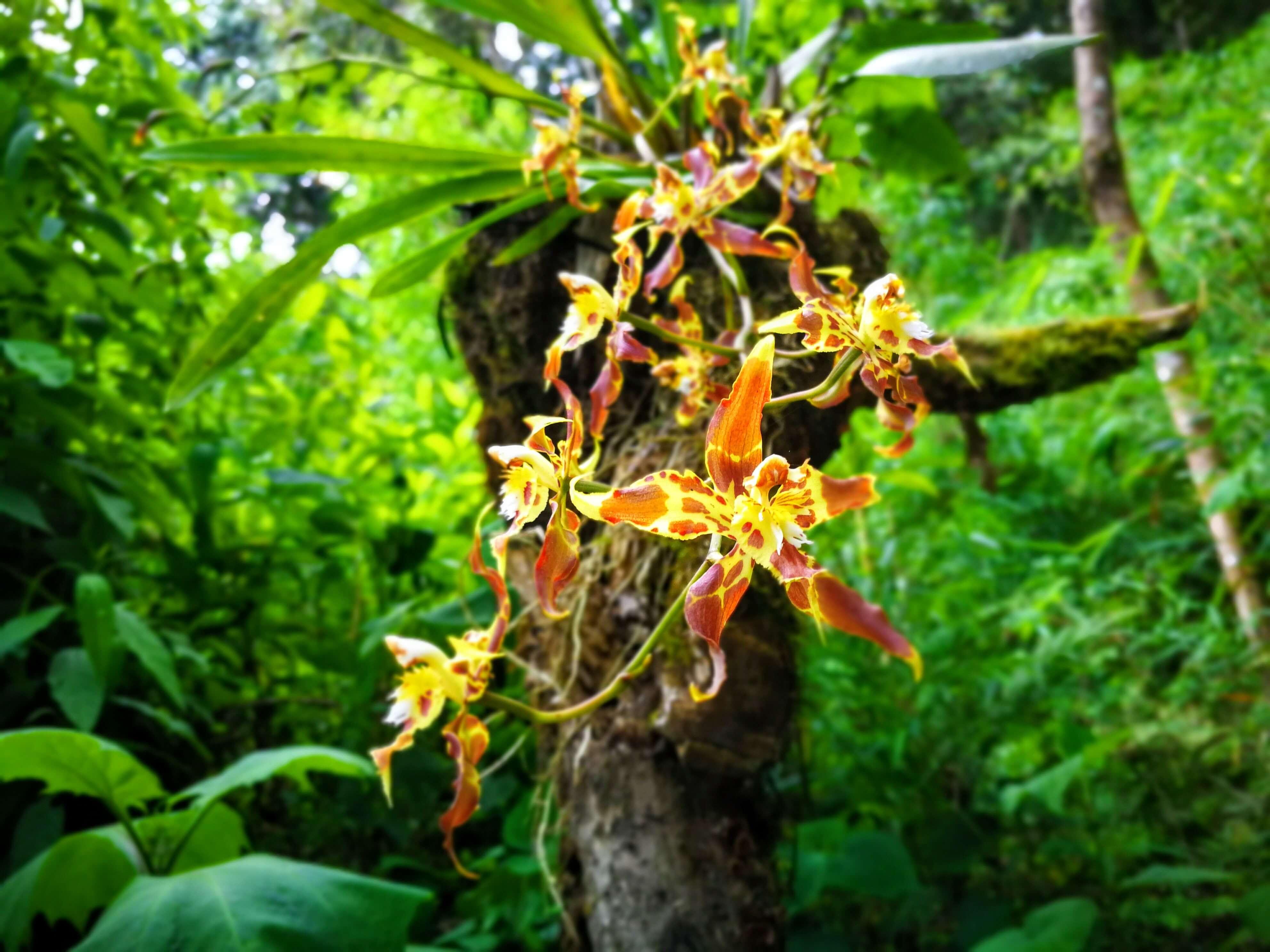 ibague orchidej