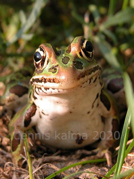 P&A froggy 0265 432x576.jpg