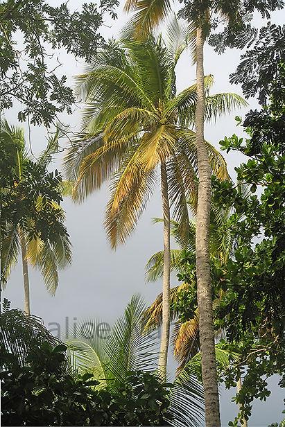 T coconut palm 3537 980x653.jpg