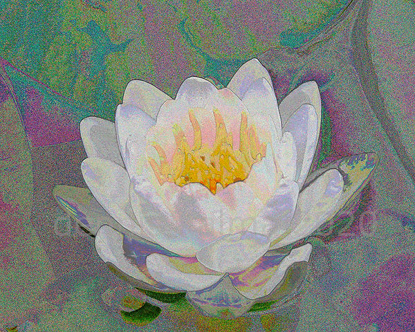 P&A water lily 6 875x700.jpg