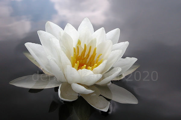 P&A water lily 7 980x653.jpg