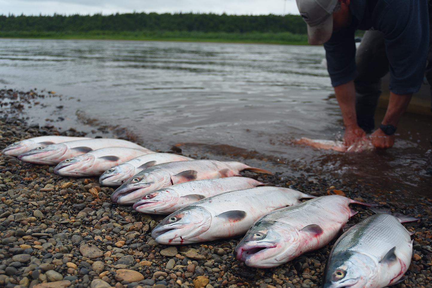 Sockeye Salmon on the Nush