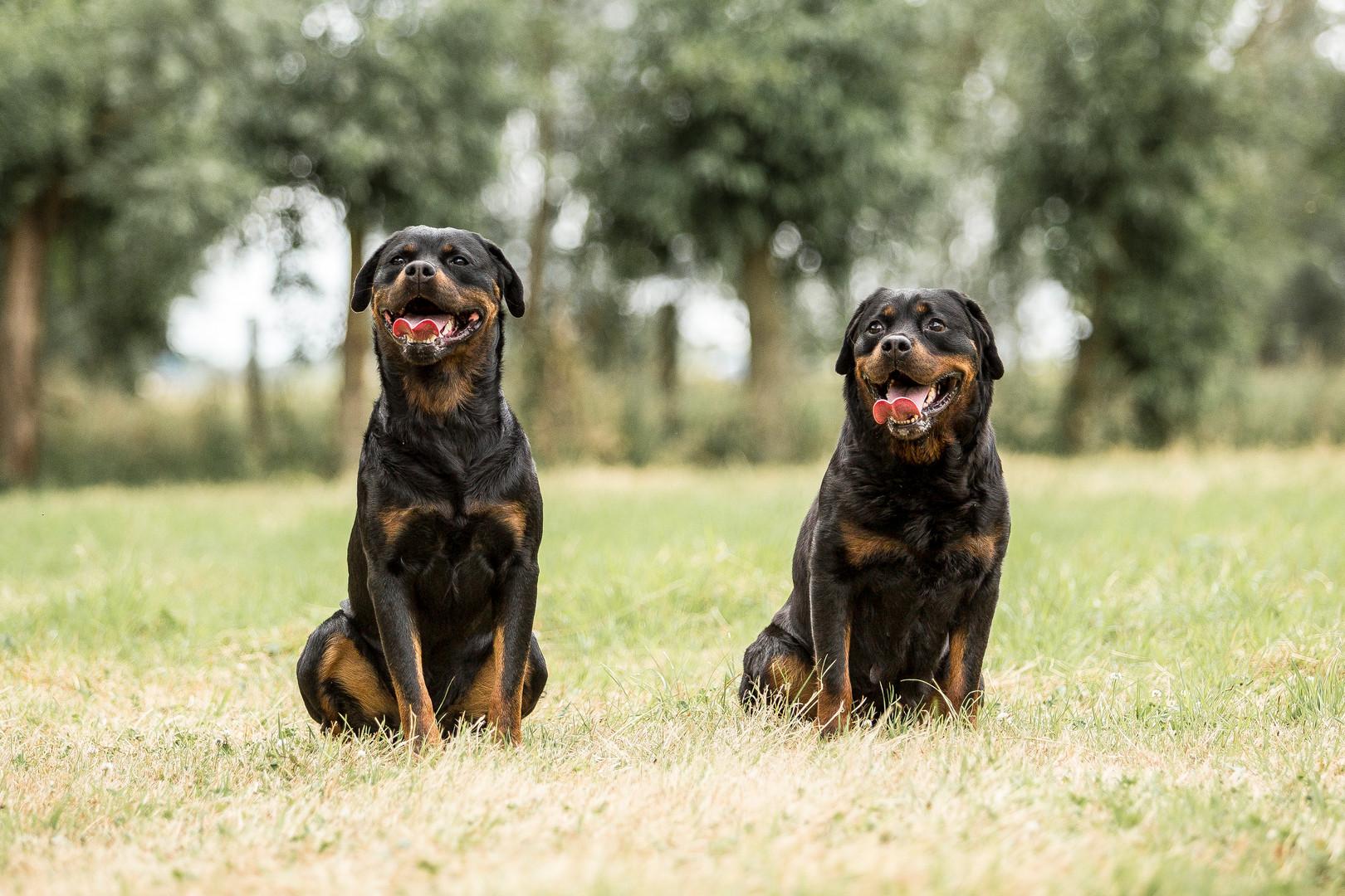 Nestor & Sunny - Rottweiler