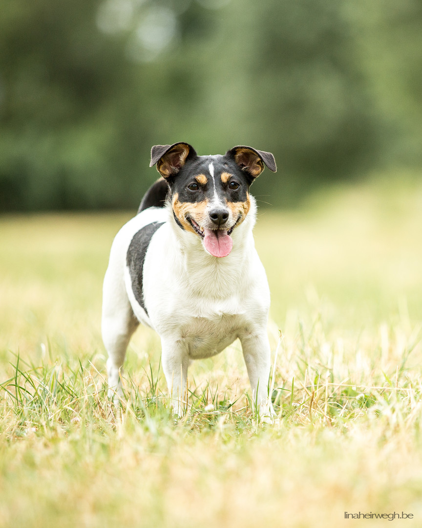 Casey - Jack Russell