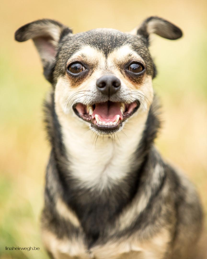 Gizmo - Chihuahua