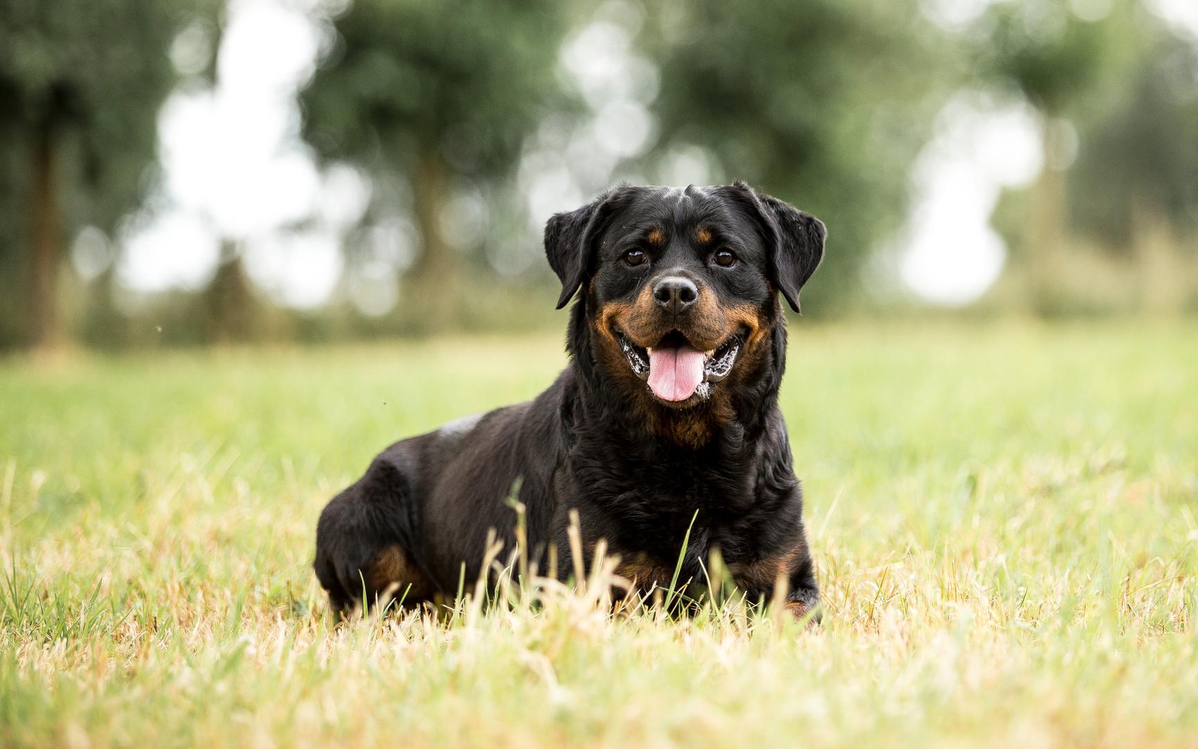 Sunny - Rottweiler