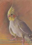 Cockatiel Lady
