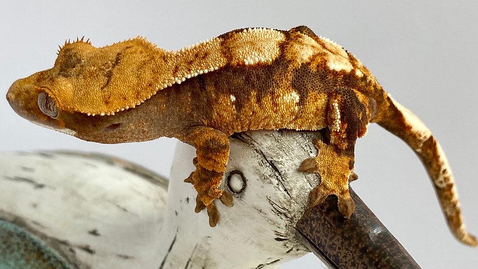 Tricolor Harlequin, Female