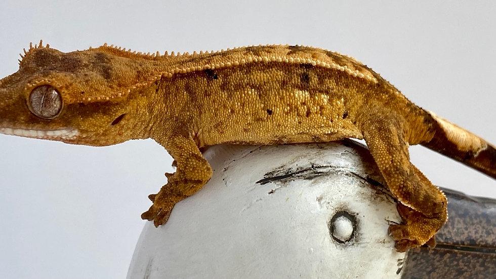 Orange Partial Pinstripe, Female