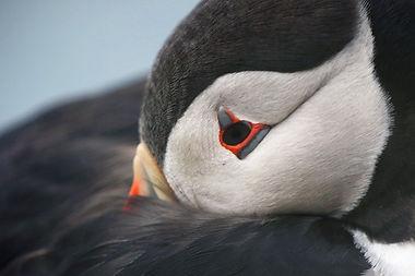 « Lundi », le macareux moine islandais