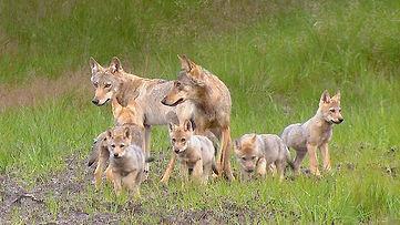 loups-nos-voisins.jpg
