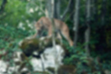 Lynx, un retour discret en Europe