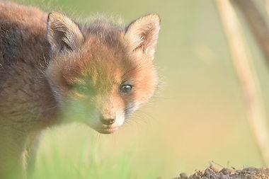 Sur les traces du renard et du chat forestier