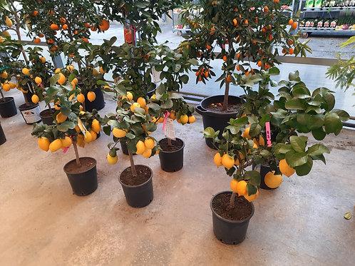 Limoni v20 con frutti super
