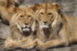 אריות באפריקה.jpg