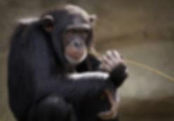 שימפנזה.jpg