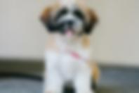 Lap Dog Sponsorship