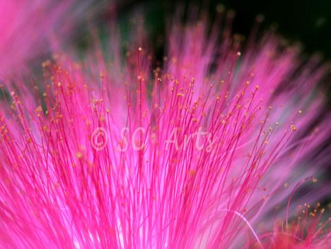 Pink dive